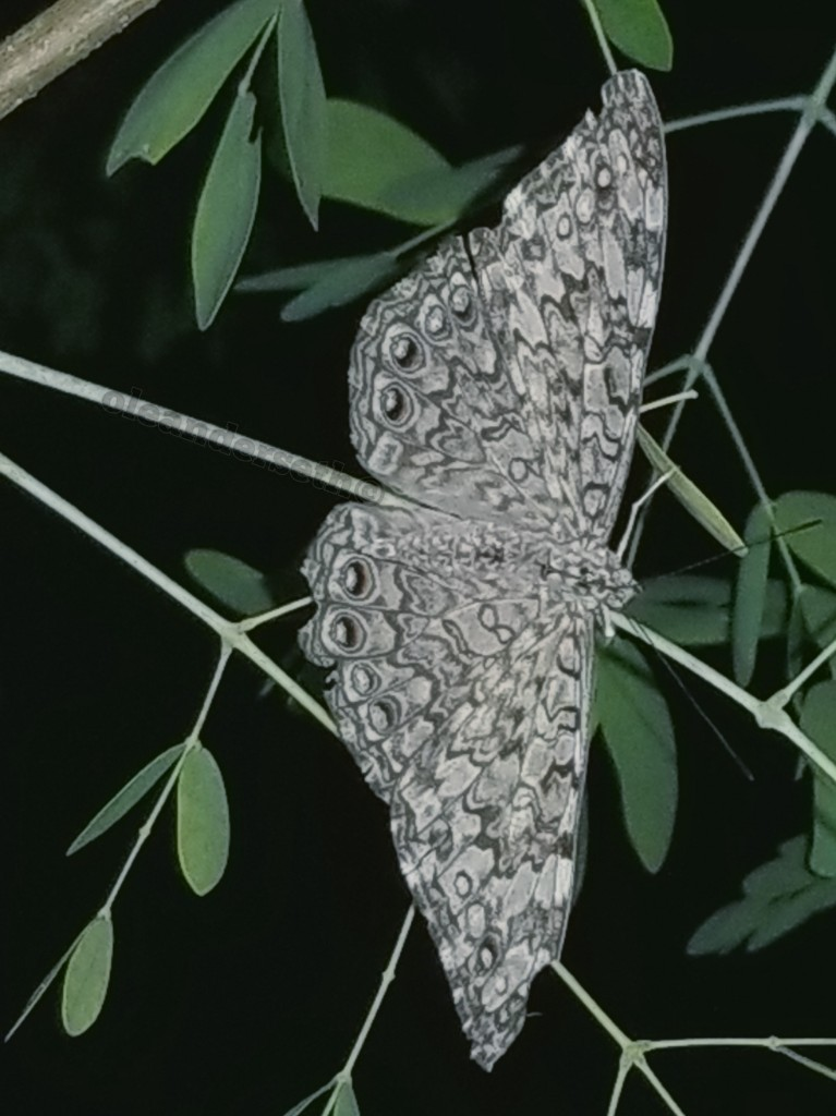 gray-cracker butterfly